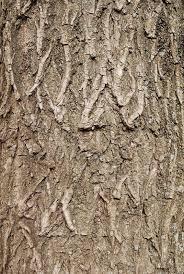 willow tree texture stock photo colourbox