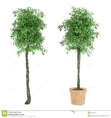 plant tree in the pot stock illustration image 36292419