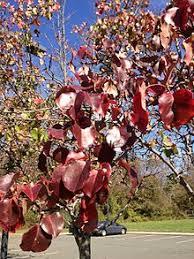 callery pear pyrus calleryana details encyclopedia of