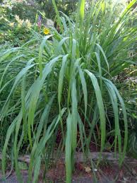 grow your own abundant medicinal plant such as lemon grass in the
