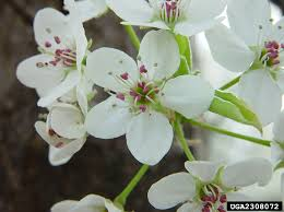 Flower Pros - the pros u0026 cons of bradford pears