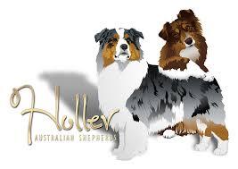 raising an australian shepherd holler australian shepherds about