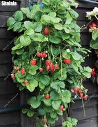 500pcs bag rare climbing strawberry seed non gmo outdoor gaint