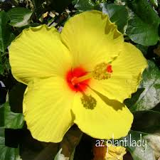Which State Has A Hibiscus by A House Call And An Unusual Prescription Ramblings From A Desert