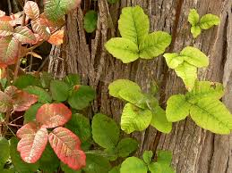 not poison in n d dermatologist s advice for treating poison oak and poison