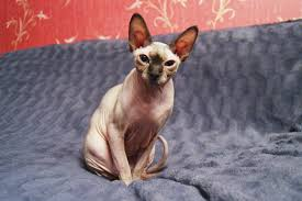 sphynx cat breed information pictures characteristics u0026 facts