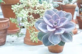 succulents meaning echeveria wikipedia