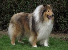 bearded collie mdr1 rough collie champion golden mist sea of fire dog breeds a h