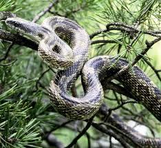 power animal for february black snake by u0027backyard shaman u0027 amy