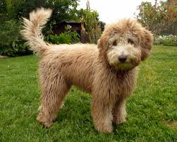labradoodle hairstyles australian labradoodle haircuts best wedding hairs