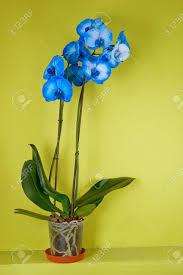 Blue Orchid Flower - blue orchid flower in a pot on green background stock photo