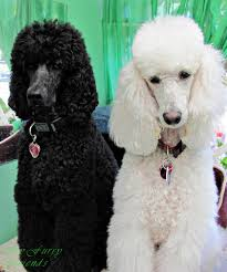 labradoodle hairstyles pet grooming the good the bad the furry grooming