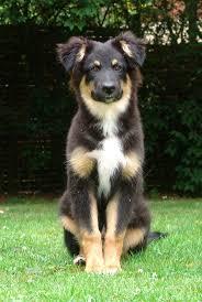 australian shepherd cost best 25 black tri australian shepherd ideas on pinterest toy