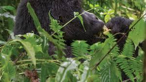 rwanda u0026 uganda gorilla discovery