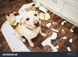 The Kitchen Collection Inc Naughty Dog Lying Dog Middle Mess Stock Photo 339205646 Shutterstock
