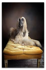 afghan hound calendar 2015 adar the afghan hound actor based in southern california los