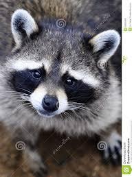 a poor cute raccoon royalty free stock photos image 20605008