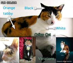 Cat Facts Meme - calico cat facts for kids