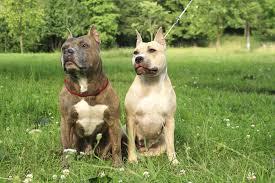 american pitbull terrier vs amstaff american staffordshire terrier