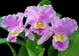 cattleya orchids how to care for orchids and get more blooms garden club