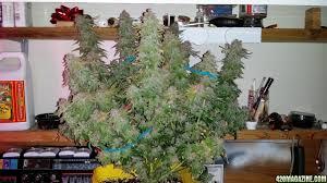 new crop king seed grow white widow purple kush green