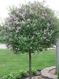 ornamental flowering trees page 3 calgary plants