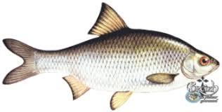 cuisiner le gardon les recettes de poissons d eau douce du pêcheur gourmand