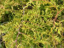 new zealand native plants and trees new zealand conifers photography nz native coniferous trees and