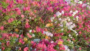 roses in a rose garden stock footage video 9361175 shutterstock