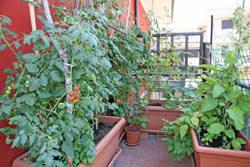 gemüse auf dem balkon pflanzen 9 gemüsesorten für anfänger - Gem Se Pflanzen Balkon