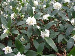 Most Fragrant Plants - daphne odora varieties and images
