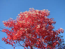 sourwood tree seedlings wholesale for sale low grower prices