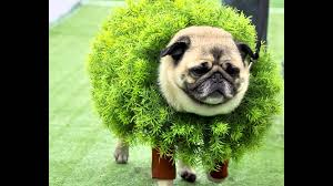 in costumes pugs are adorable no matter what but they re even more precious