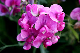 sweet peas flowers free picture pink sweet pea flowers
