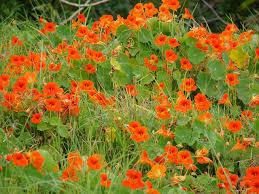 nasturtium flowers tropaeolum majus nasturtium