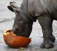 25 rhinos extinct ideas extinction