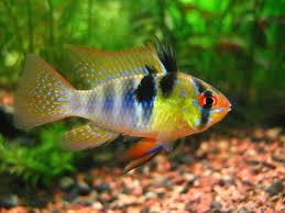 5 most non aggressive cichlids u2022 land of fish