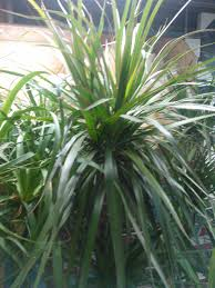 Dracaena Marginata Dracaena Plant Care Growing Planting Cutting Diseases Pests