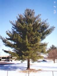 white pine trees windbreaktrees