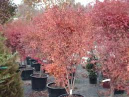 beautiful small trees japanese maples
