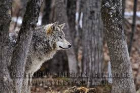 amongst the trees timber wolf a subspecies of canis lupus