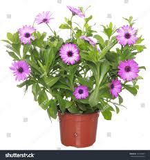 100 violet flower image amazon com eflowerwholesale fresh