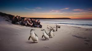 belgian shepherd victoria australia cosas que hacer en la isla phillip isla phillip seal rocks