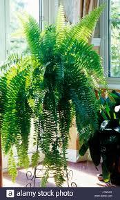 nephrolepes exaltata boston fern in a living room stock photo
