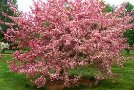 top ornamental crabapples for wisconsin wisconsin horticulture