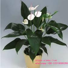 q092910 all kinds of anthurium flowers plants china wholesale