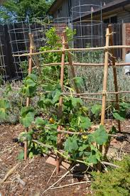 a weekend project butternut squash trellis east sac edible