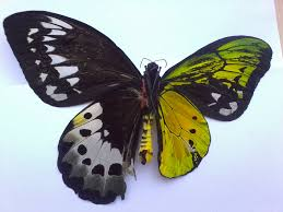 spectacular genetic anomaly results in butterflies with and