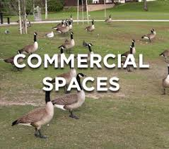 get rid of geese and keep geese away away with geese goose deterrent
