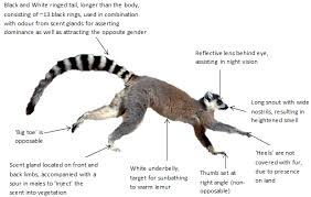 lemur diagram png non human primates evolution